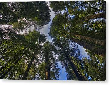 Redwood Canopy Canvas Print by Mark Kiver