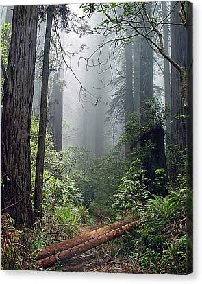 Redwood Mist Canvas Print