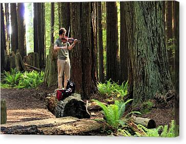 Redwood Symphony   Canvas Print