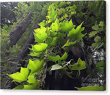 Redwood Trees And Ivy  Leaves Canvas Print by Wernher Krutein