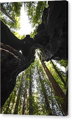 Redwood Trees And Trunk Canvas Print by Studio Janney