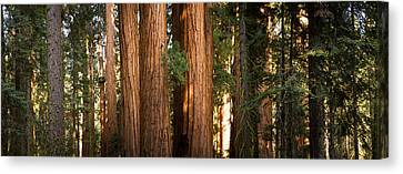Redwood Trees In A Forest, Sequoia Canvas Print by Panoramic Images