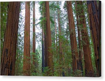Redwood Trees Canvas Print by Panoramic Images