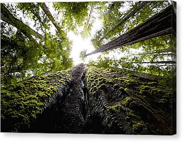 Redwood Trees With Mossy Trunk Canvas Print by Studio Janney