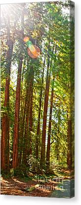 Redwood Wall Mural Panel 1 Canvas Print by Artist and Photographer Laura Wrede