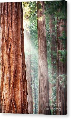 Redwoods In Yosemite Canvas Print