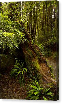Canvas Print featuring the photograph Redwoods by Janis Knight