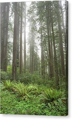 Redwoods, Lady Bird Johnson Grove Canvas Print by Rob Sheppard