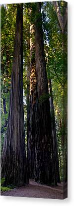 Redwoods Vertical Panorama Canvas Print