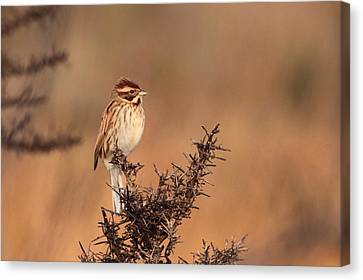 Reed Bunting Canvas Print by Peter Skelton