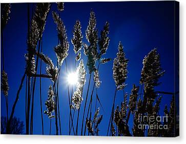 Reed Canvas Print by Jan Wolf