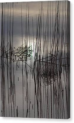 Reed Reflection 3 Canvas Print by T C Brown