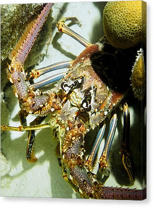 Reef Lobster Close Up Spotlight Canvas Print by Amy McDaniel