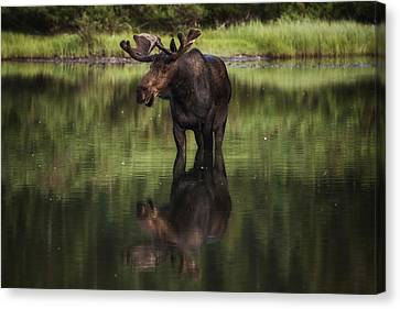 Bull Moose Canvas Print - Reflecting Bull by Mark Kiver
