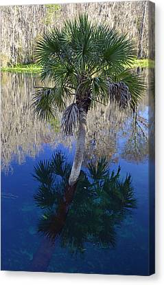 Reflecting Palm Tree Silver Springs Canvas Print by Bruce Gourley