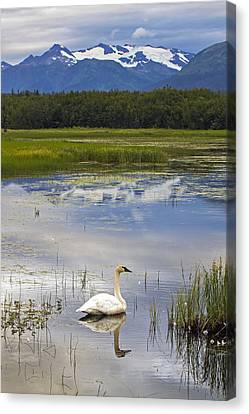Reflecting Swan Canvas Print