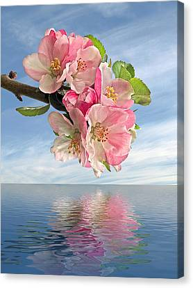 Reflections Of Spring At Apple Blossom Time Canvas Print by Gill Billington