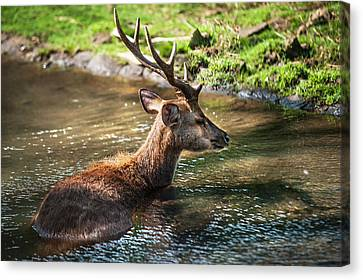 Refreshing 2. Male Deer In The Pampelmousse Botanical Garden. Mauritius Canvas Print by Jenny Rainbow