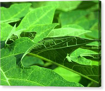 Tropical Green Sea Of Papaya Leaves Canvas Print
