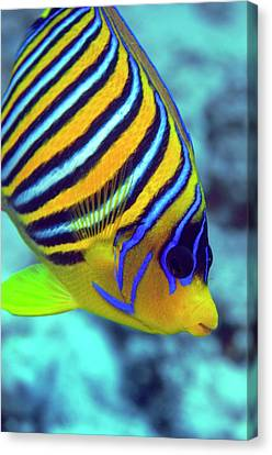 Regal Angelfish Canvas Print by Louise Murray
