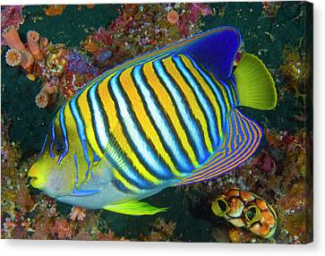 Regal Angelfish (pygoplites Diacanthus Canvas Print