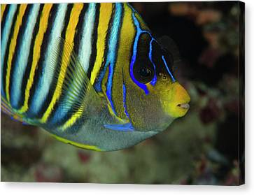 Regal Angelfish (pygoplites Diacanthus Canvas Print by Pete Oxford