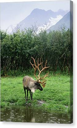 Reindeer Grazing In A Grass Meadow Canvas Print by Angel Wynn