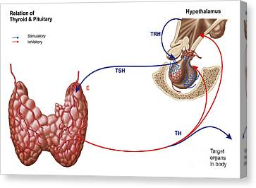 Relation Of Thyroid And Pituitary Gland Canvas Print by Stocktrek Images