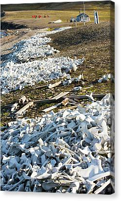 Remains Of Beluga Whales Canvas Print