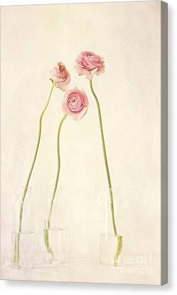 Renoncules Canvas Print by Priska Wettstein