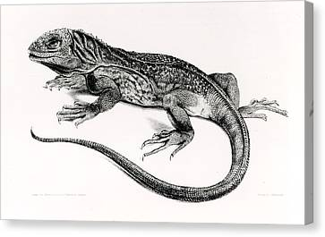 Reptile Canvas Print by English School