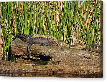 Reptile Relaxation Canvas Print