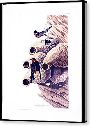 Republican Or Cliff Swallow Canvas Print by Celestial Images