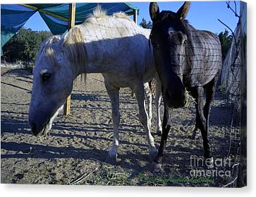 Rescued Mustangs Canvas Print