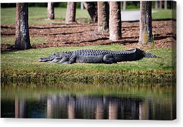 Resident Alligator At Osprey Point Canvas Print by Christy Cox