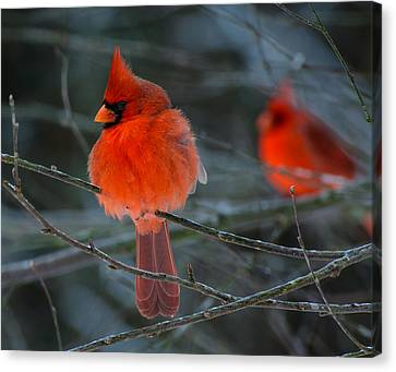 Resident Reds Canvas Print