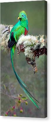 Resplendent Quetzal Pharomachrus Canvas Print by Panoramic Images