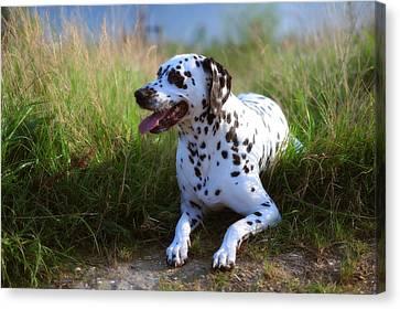 Rest In The Grass. Kokkie. Dalmatian Dog Canvas Print by Jenny Rainbow