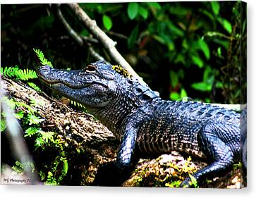 Resting Alligator  Canvas Print by Marty Gayler
