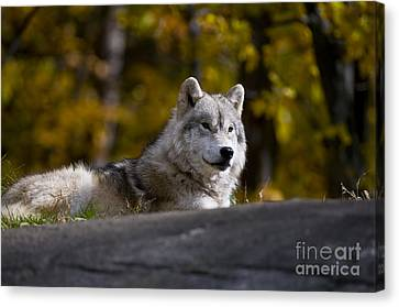 Canvas Print featuring the photograph Resting Arctic Wolf On Rocks by Wolves Only
