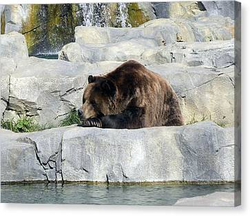 Canvas Print featuring the photograph Resting Bear by Teresa Schomig