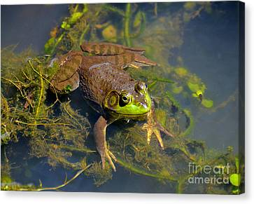 Canvas Print featuring the photograph Resting Bronze Frog by Kathy Baccari