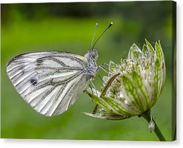 Resting Butterfly Canvas Print by Adam Budziarek