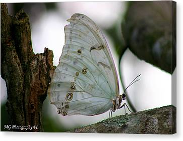 Resting Butterfly Canvas Print by Marty Gayler