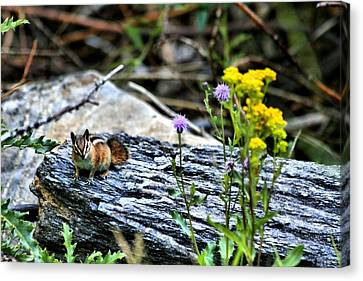 Resting Chipmunk  Canvas Print by Rebecca Adams