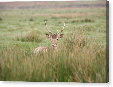 Resting Deer Canvas Print by Mark Severn