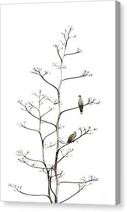 Resting Doves Canvas Print