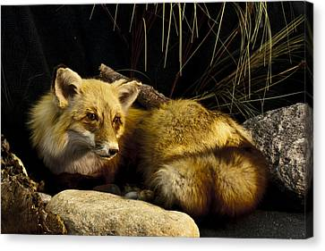 Resting Fox Canvas Print