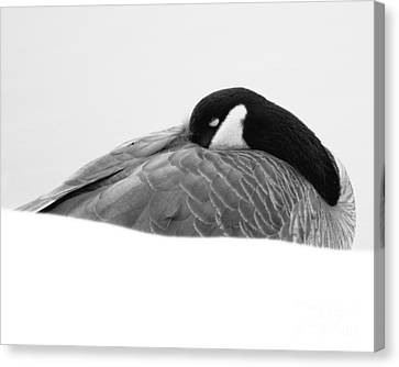 Canvas Print featuring the photograph Resting Goose In Bw by Anita Oakley