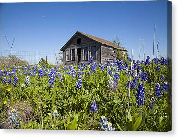 Resting In A Field Of Blue Canvas Print